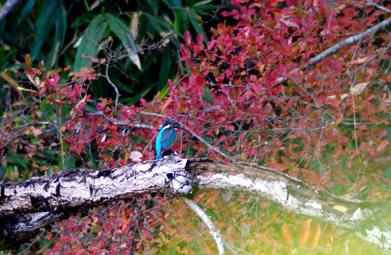 公園のカワセミ_f0215767_1781211.jpg