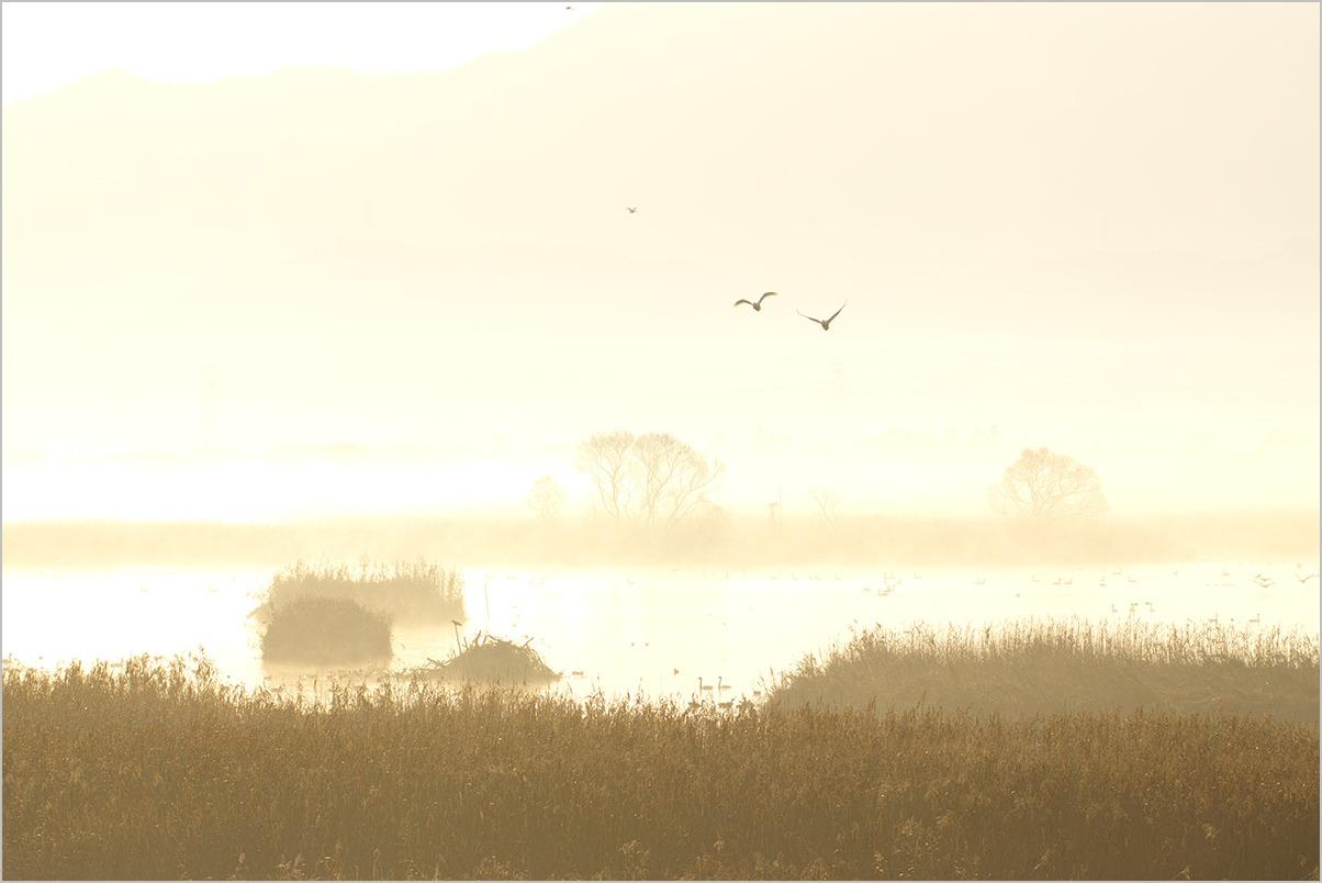飛来 Swans #SD1_c0065410_23235765.jpg