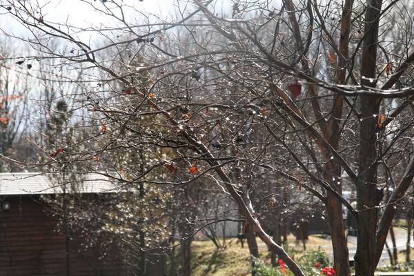 天然のクリスマスツリー_b0174425_17135099.jpg