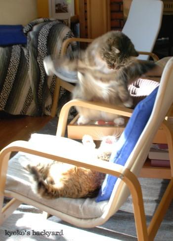 邪魔されたくない姉猫 vs 遊びたい弟猫_b0253205_05330772.jpg