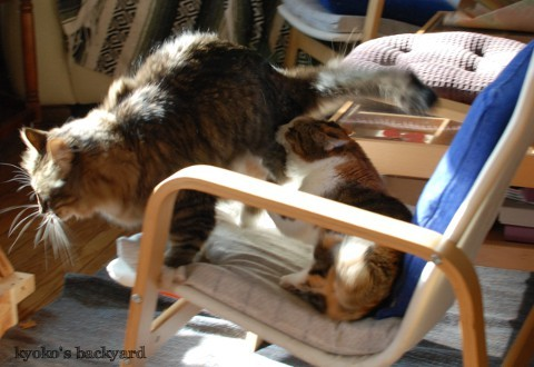邪魔されたくない姉猫 vs 遊びたい弟猫_b0253205_05340144.jpg