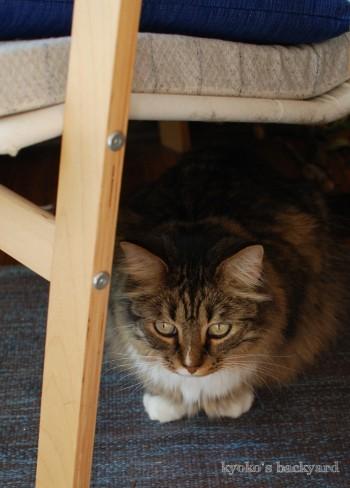 邪魔されたくない姉猫 vs 遊びたい弟猫_b0253205_05361243.jpg