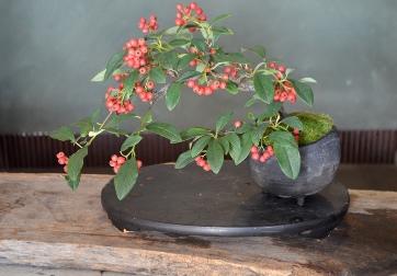 冬の盆栽 新入荷のご案内_d0263815_1621397.jpg