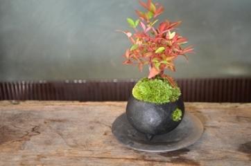 冬の盆栽 新入荷のご案内_d0263815_1622196.jpg