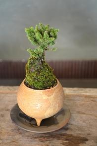 冬の盆栽 新入荷のご案内_d0263815_1662919.jpg