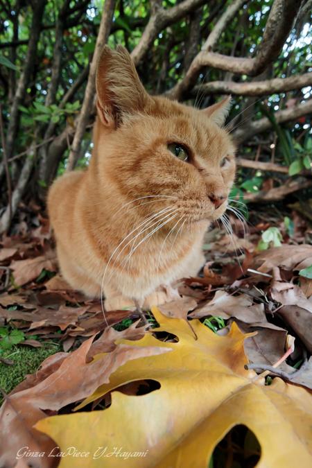猫のいる風景 日比谷公園 落葉とメメちゃん_b0133053_2573926.jpg