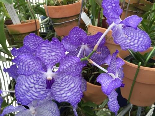 Vanda coerulea :鮮明なブルーです。_d0007501_04285947.jpg
