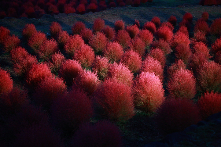 川崎町 国営みちのく杜の湖畔公園 コキアカリ 1_e0165983_16401630.jpg