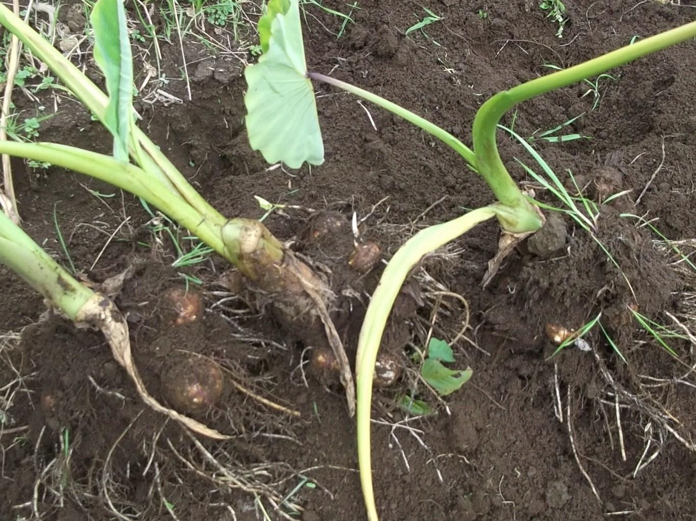 野菜の大量収穫..._b0137932_2246115.jpg