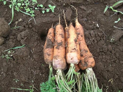 野菜の大量収穫..._b0137932_22474113.jpg