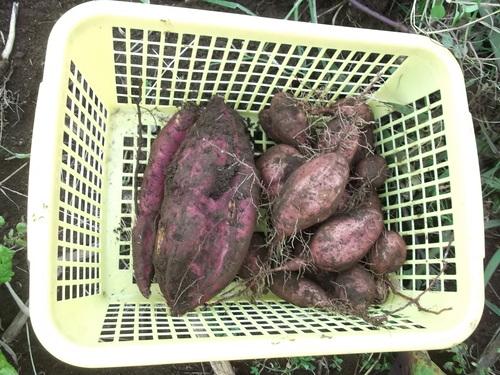 野菜の大量収穫..._b0137932_2357650.jpg
