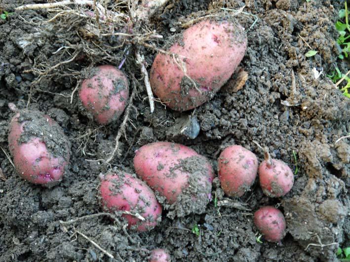 秋ジャガとブロッコリーを初収穫:2014・12・3~4_c0014967_233312.jpg