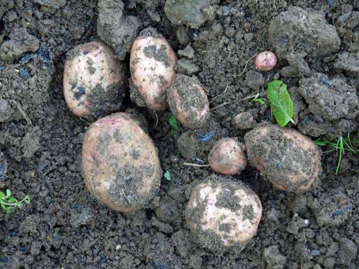 秋ジャガとブロッコリーを初収穫:2014・12・3~4_c0014967_2334641.jpg
