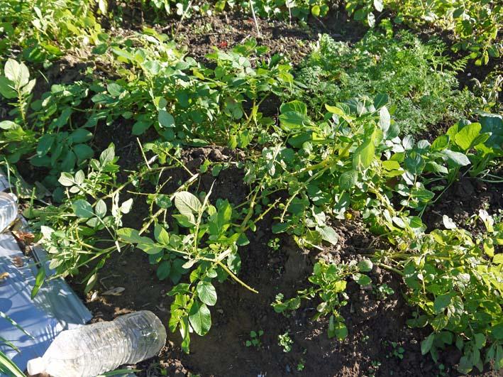 秋ジャガとブロッコリーを初収穫:2014・12・3~4_c0014967_2353925.jpg