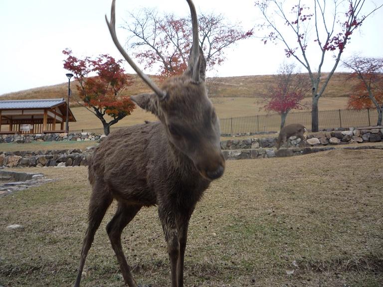 奈良。古事記展と鹿さんたち、たくさんの美しい紅葉にあってきました。_c0086176_9175575.jpg