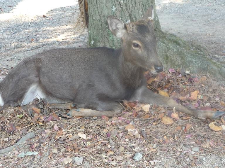 奈良。古事記展と鹿さんたち、たくさんの美しい紅葉にあってきました。_c0086176_992826.jpg