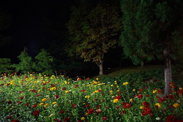 川崎町 国営みちのく杜の湖畔公園 コキアカリ 2_e0165983_2332552.jpg