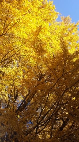 青い空と黄金色_f0186787_12380771.jpg