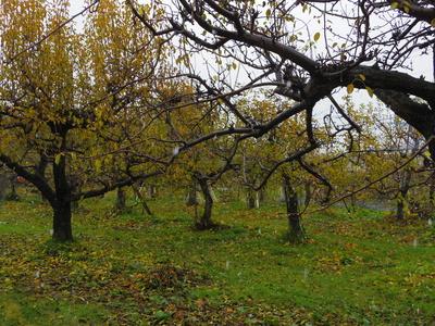 リンゴ畑  12・5_e0019167_20251425.jpg
