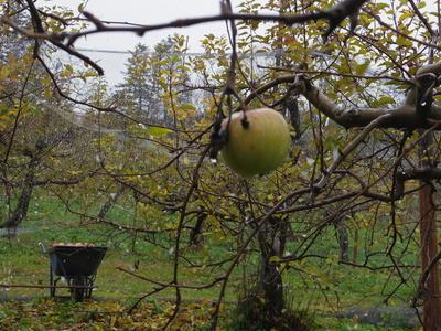 リンゴ畑  12・5_e0019167_20294671.jpg