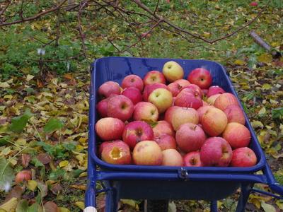 リンゴ畑  12・5_e0019167_20345414.jpg