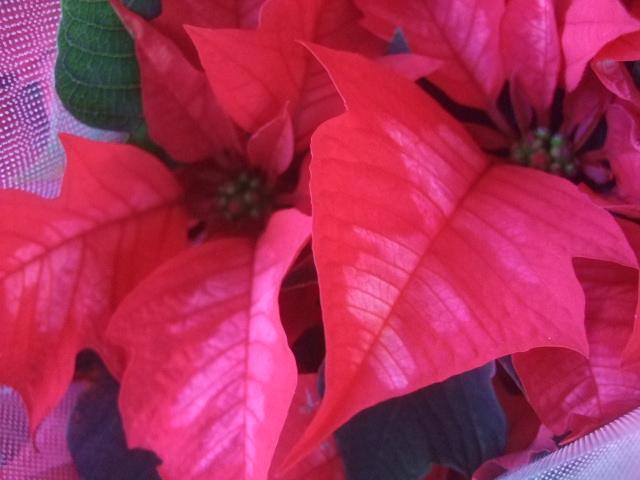 オークリーフ(クリスマス一色)_f0049672_18223595.jpg
