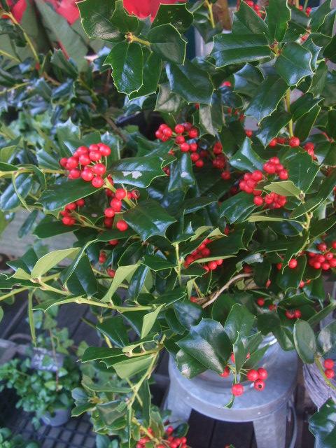 オークリーフ(クリスマス一色)_f0049672_18225771.jpg