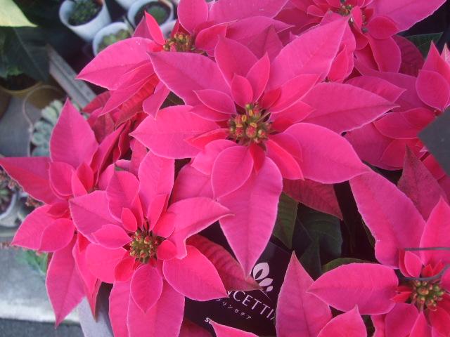 オークリーフ(クリスマス一色)_f0049672_18234097.jpg