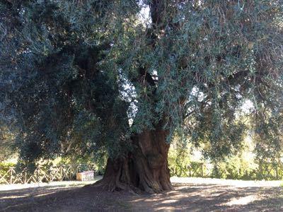 ヨーロッパで一番大きなオリーブの木_e0186099_0341699.jpg
