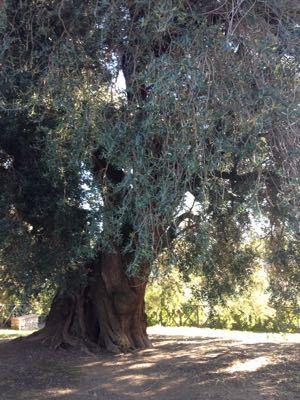 ヨーロッパで一番大きなオリーブの木_e0186099_0341843.jpg