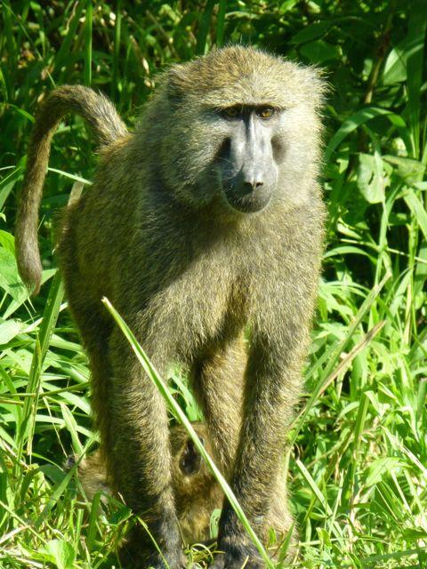 ウガンダ旅行記ー動物編1ークィーンエリザベス国立公園_f0096017_029583.jpg