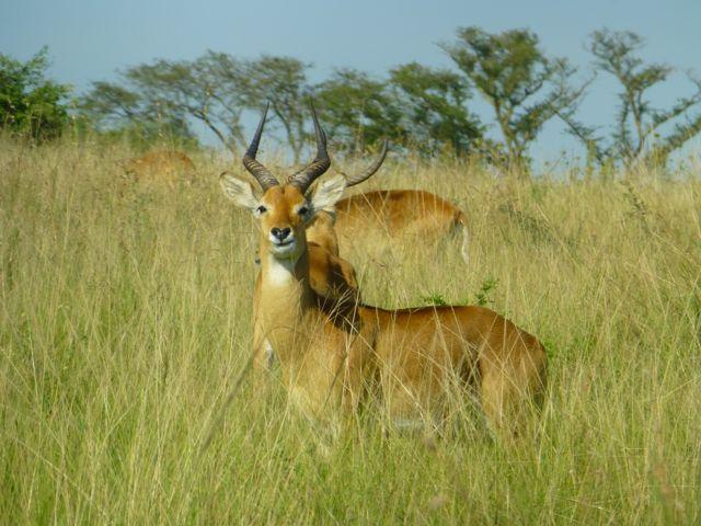 ウガンダ旅行記ー動物編1ークィーンエリザベス国立公園_f0096017_0322814.jpg