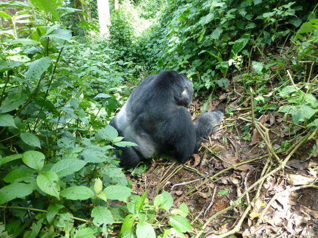 ウガンダ旅行記ー動物編2ーマウンテンゴリラ_f0096017_2124549.jpg