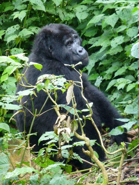 ウガンダ旅行記ー動物編2ーマウンテンゴリラ_f0096017_21264453.jpg