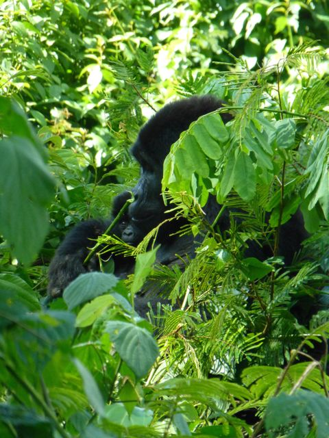 ウガンダ旅行記ー動物編2ーマウンテンゴリラ_f0096017_21275937.jpg