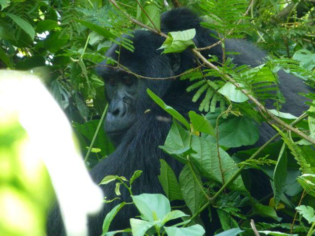 ウガンダ旅行記ー動物編2ーマウンテンゴリラ_f0096017_21291579.jpg