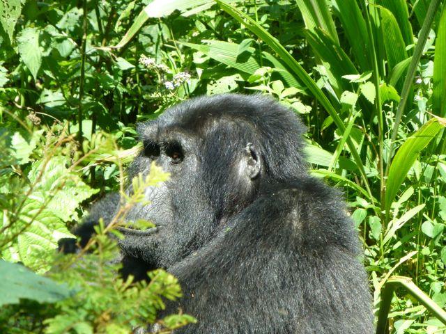 ウガンダ旅行記ー動物編2ーマウンテンゴリラ_f0096017_2130563.jpg
