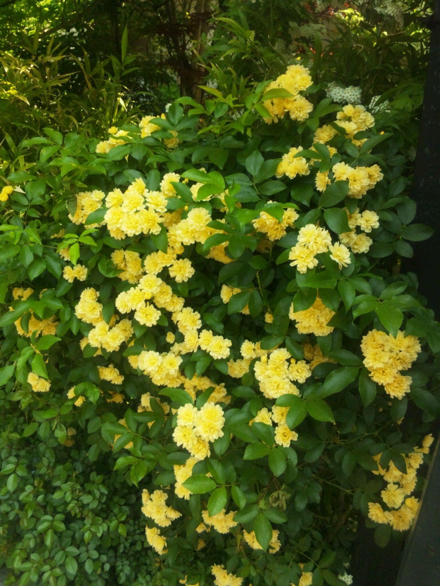 僕の家の庭に今年咲いた黄色い花たち_d0021969_147210.jpg