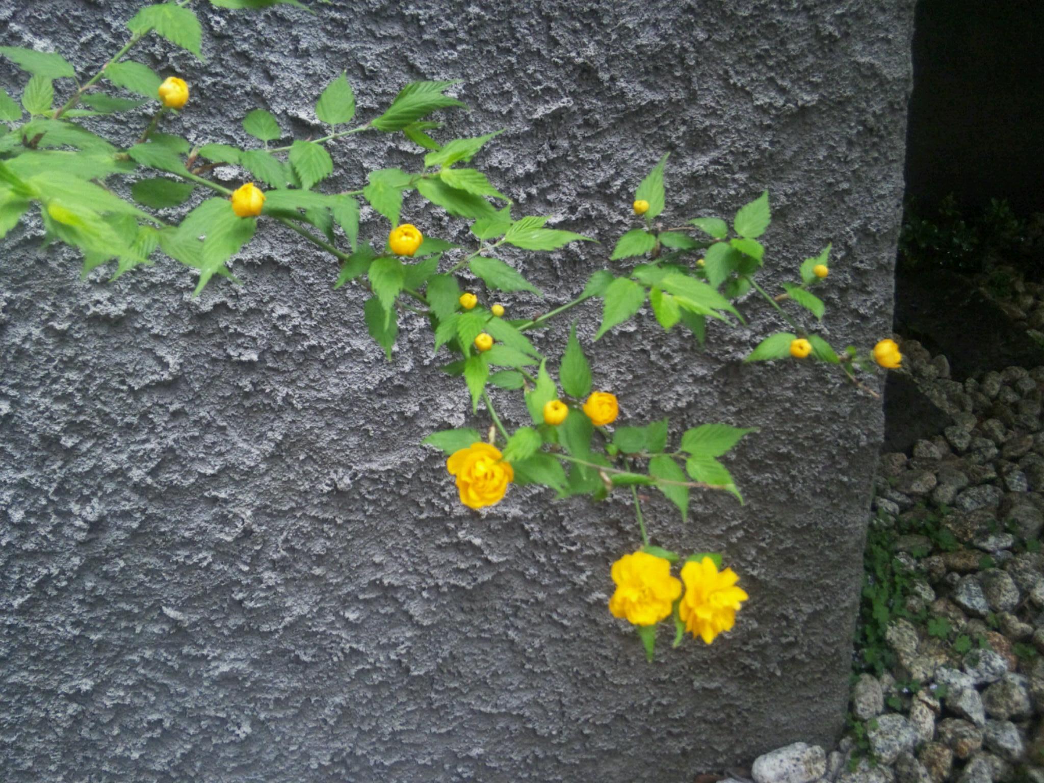僕の家の庭に今年咲いた黄色い花たち_d0021969_1481922.jpg