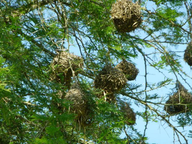 ウガンダ旅行記ーその他動物、1部グロいかもw_f0096017_1715735.jpg