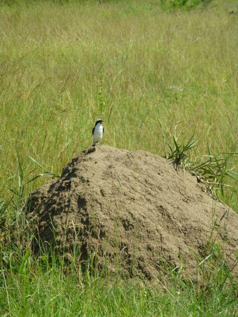 ウガンダ旅行記ーその他動物、1部グロいかもw_f0096017_17231027.jpg