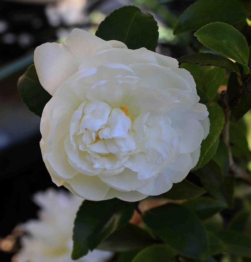 季節は変わる  ~山茶花から椿へ~_a0107574_18173718.jpg