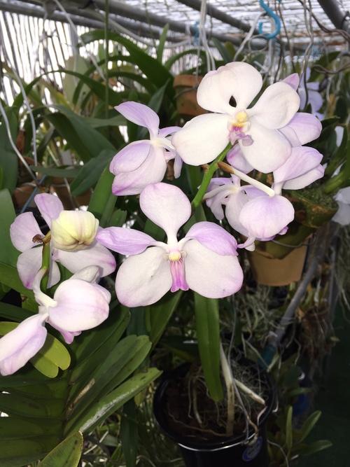 Vanda.coerulea f.delicata(バンダ:セルレア・デリカータ)_d0007501_17204235.jpg