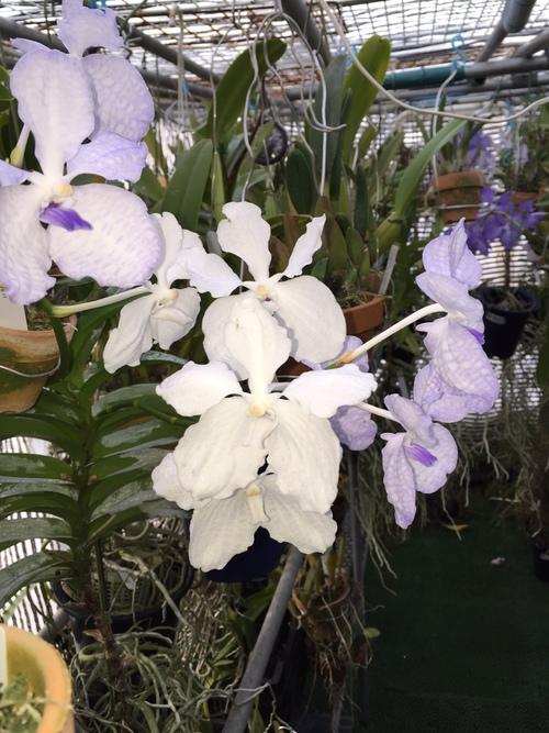 Vanda.coerulea f.delicata(バンダ:セルレア・デリカータ)_d0007501_17251884.jpg