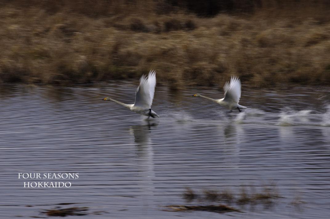 走る白鳥たち_f0152939_17412494.jpg