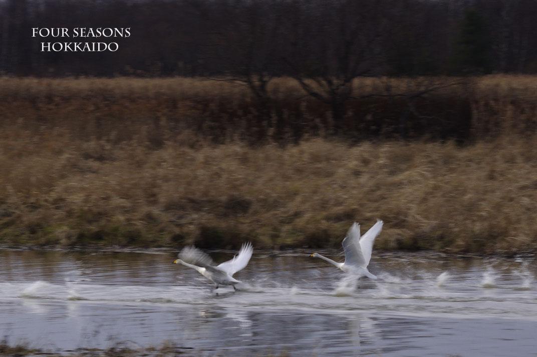 走る白鳥たち_f0152939_1743123.jpg