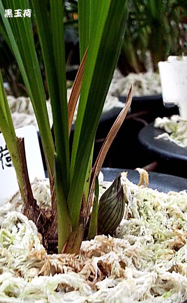 奥地蘭朶朶香「富紫荷」                No.1456_d0103457_1727935.jpg