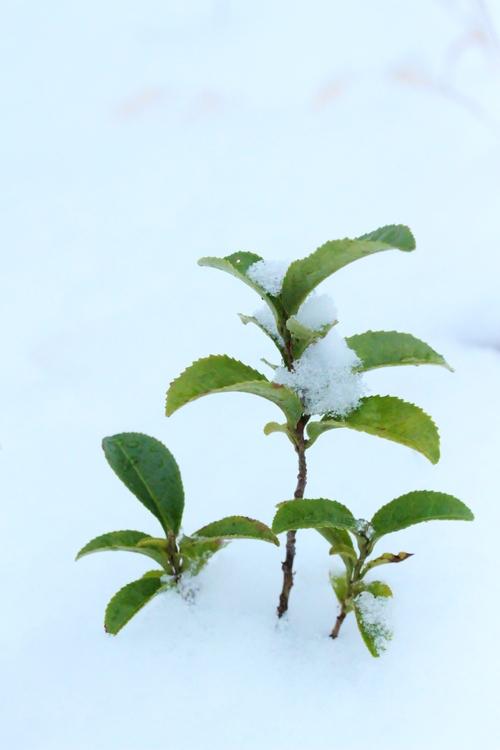 茶と雪_b0220318_10595582.jpg