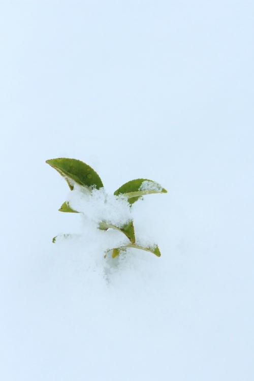 茶と雪_b0220318_1101072.jpg