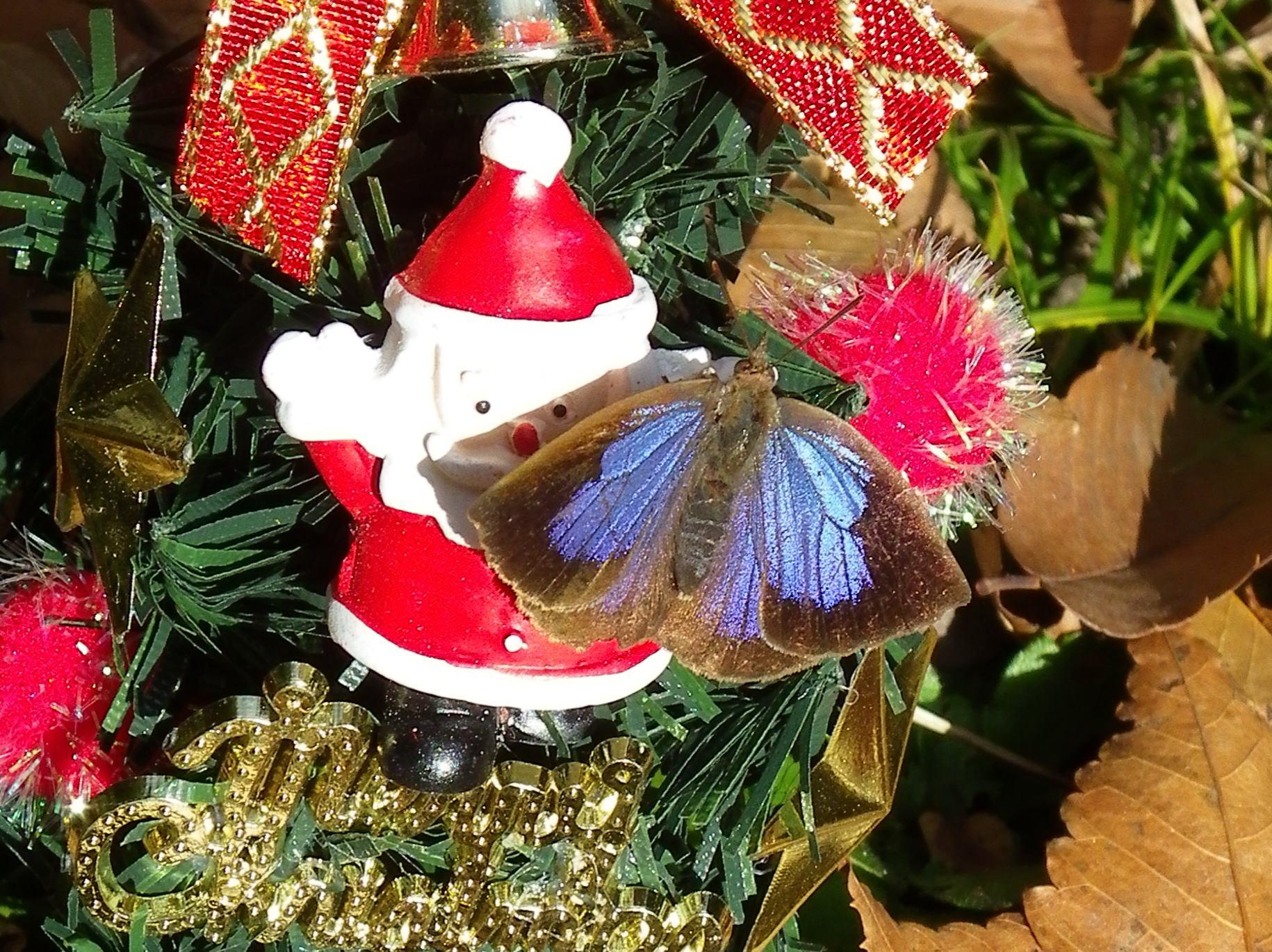 ムラサキシジミ Merry Christmas_d0254540_5154065.jpg